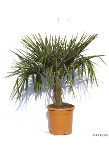"Trachycarpus Fortunei ""Palmera Excelsa"""