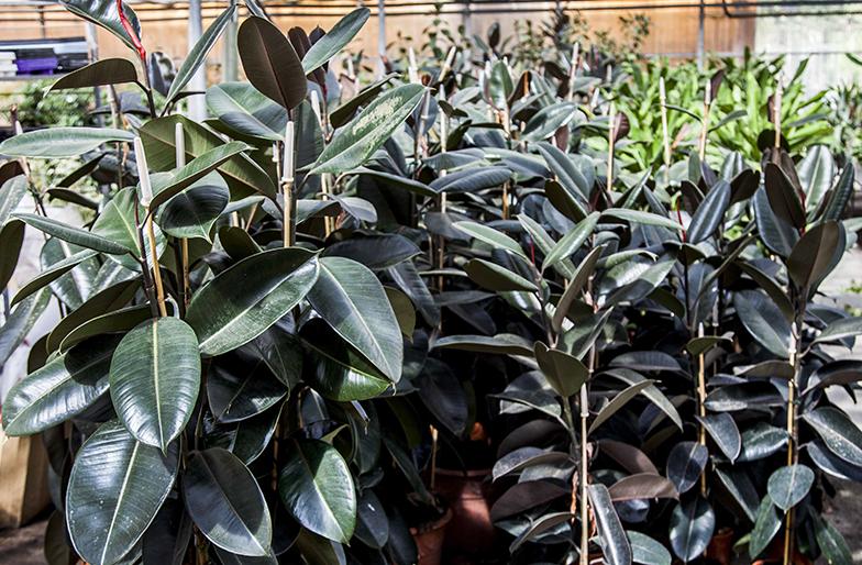 Blog plantas que purifican tu hogar - Ficus elastica cuidados ...