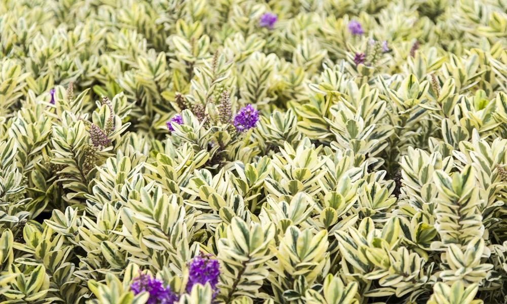 Blog veronica variegata for Plantas de jardin resistentes al frio
